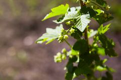 Blooming currant plants in a spring garden. royalty free stock images