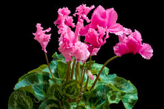 Blooming cyclamen Royalty Free Stock Images