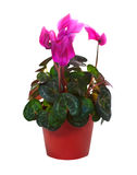 Blooming cyclamen in  pot. Isolated on white Royalty Free Stock Photo