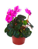 Blooming cyclamen in  pot. Isolated on white Royalty Free Stock Images