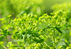 Blooming Cypress spurge Royalty Free Stock Images