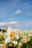 Blooming Daffodil. Yellow daffodils in a field against blue skies Stock Images