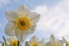 Blooming daffodil with the blue sky in the background Stock Image