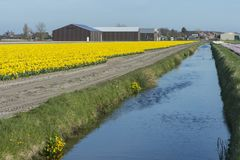 Blooming daffodil field Stock Images