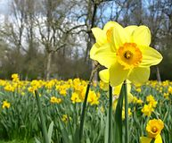 Blooming daffodil in a daffodil field at easter time stock images
