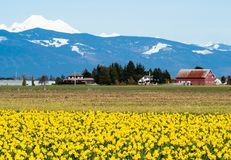 Blooming daffodil fields in Washington state, USA. Blooming daffodil fields in Skagit valley with Mount Baker at the bakground - Washington state, USA royalty free stock photo