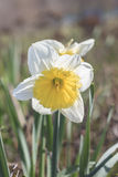 A blooming daffodil in the Park. Closeup of blooming white and yellow Narcissus stock image