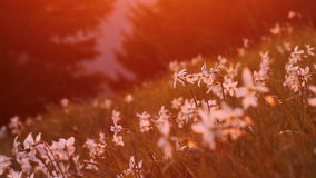 Blooming daffodil with saturated sunset light stock video footage