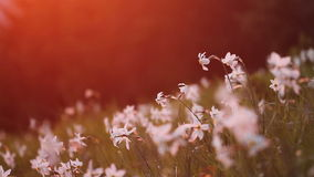 Blooming daffodil with saturated sunset light stock footage