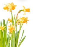 Blooming Daffodils. Closeup of yellowing blooming Daffodil flowers, isolated on white background with copy space Stock Image