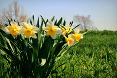 Blooming Daffodils stock image