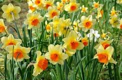 Blooming daffodils Stock Photo