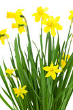 Blooming daffodils flowers Stock Photo