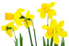 Blooming daffodils flowers Stock Photography
