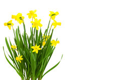 Blooming daffodils flowers Royalty Free Stock Images