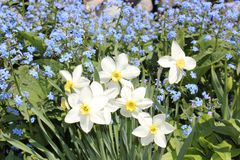 Blooming daffodils in the garden. Blooming spring flowers in the garden Royalty Free Stock Photos