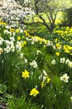Blooming daffodils in spring park Stock Photos