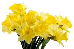 Blooming daffodils and a white background Royalty Free Stock Photography