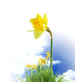 Blooming Daffodils Royalty Free Stock Image