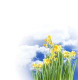 Blooming Daffodils Stock Photography