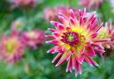 Blooming dahlia Stock Image