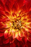 Blooming Dahlia Royalty Free Stock Image