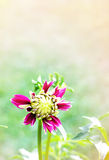 Blooming dahlia bud Royalty Free Stock Images