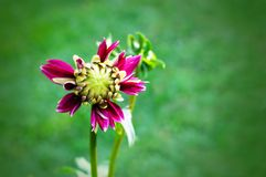 Blooming dahlia bud. Dahlia purple bud on blurred green background Stock Photo