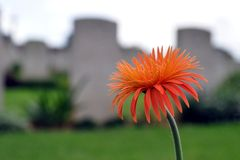 Blooming Dahlia in a cemetery. A photo of a dahlia in full bloom in a cemetery Stock Photos