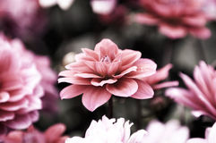 Blooming dahlia flowers Royalty Free Stock Images
