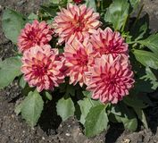 Blooming Dahlias in flower bed. Detailed view of Pink bedding Dahlias in full bloom in a flower bed royalty free stock images