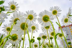 Blooming daisies against the sky and high-rise buildings Royalty Free Stock Images