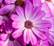 The blooming daisies Royalty Free Stock Photography