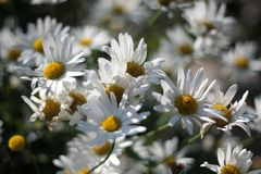 Blooming daisies. Large white flowering daisies in the sun Stock Photos