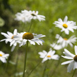 Blooming daisies in a meadow Stock Photography