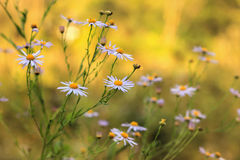 Blooming daisies in a meadow Royalty Free Stock Photos