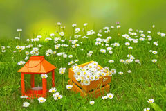 Blooming daisies on meadow. With daisy bouquet and lantern decorations Royalty Free Stock Image