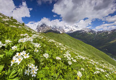 Free Blooming Daisies On Mountain Meadow Royalty Free Stock Photos - 35133578