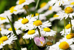 Blooming daisies Stock Photography