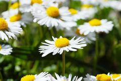 Blooming daisies Stock Images