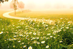 Blooming daisies Stock Image