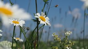 Blooming daisies on summer meadow. Summer scene. Blooming daisies on summer meadow stock footage