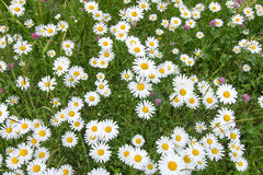 Blooming daisies Stock Photo