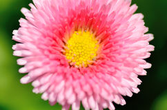Blooming daisy (close-up). Stock Photo