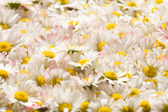 Blooming daisy flowers Stock Photo