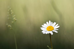 Blooming daisy on green meadow. And grass Royalty Free Stock Photos