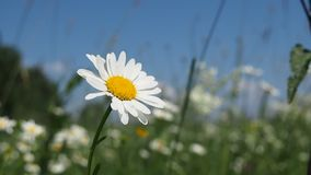 Blooming daisy on the summer meadow. Summer scene. Blooming daisy on the summer meadow stock footage
