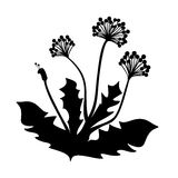 Blooming dandelion. Black silhouette of a blooming dandelion leaves Royalty Free Stock Images