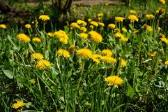 Blooming dandelion. bright yellow flowers of the medicinal plant in Sunny weather. Stock Photography