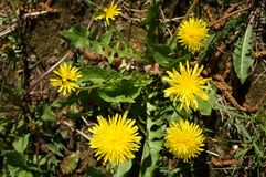 Blooming dandelion. bright yellow flowers of the medicinal plant in Sunny weather. Royalty Free Stock Photos
